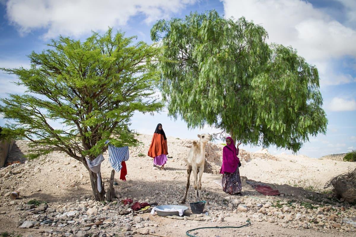 Xodan ja Faduma seisovat kahden vihreän puun alla. Heidän edessään on yksi vaalea kameli.