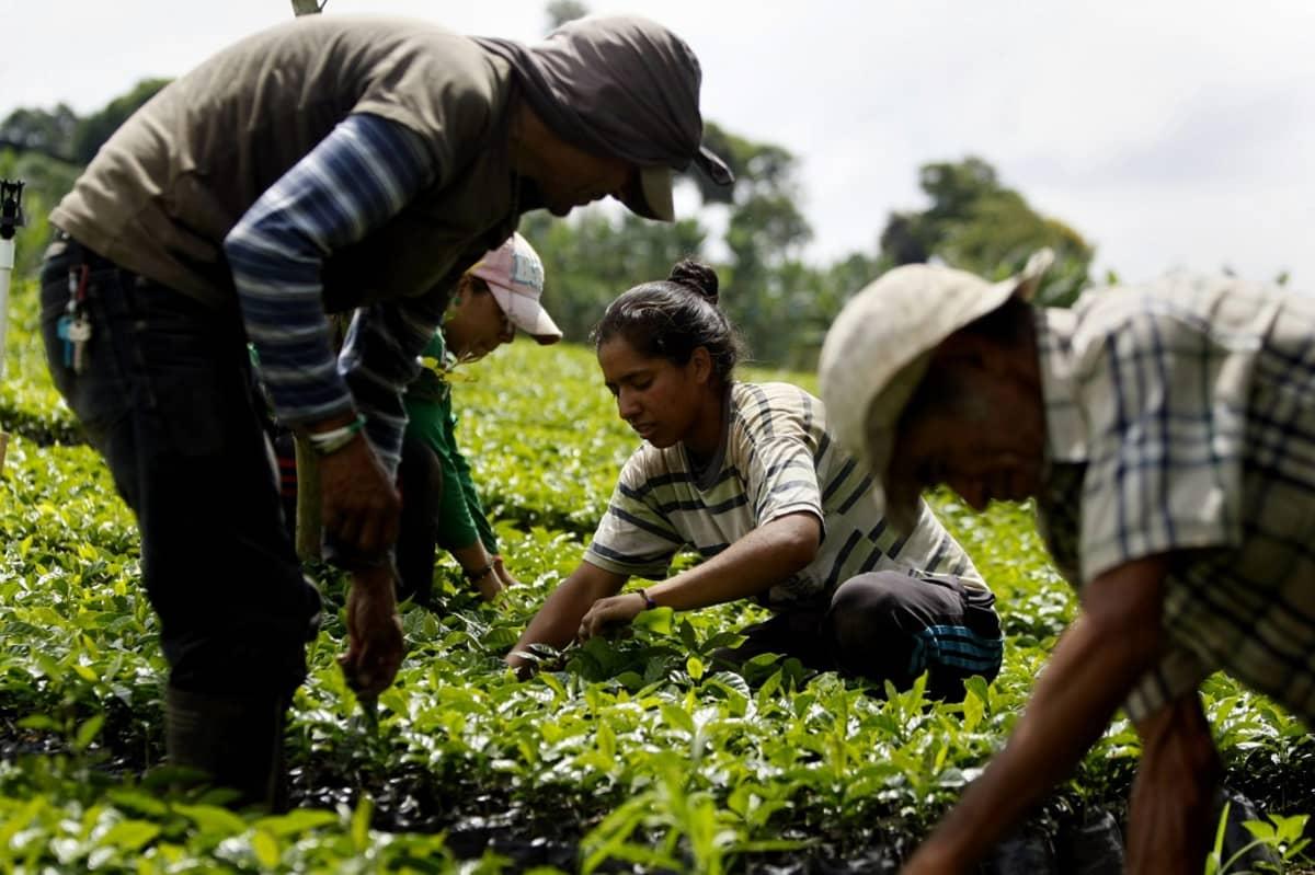 Neljä työntekijää poimii kahvinpapuja.