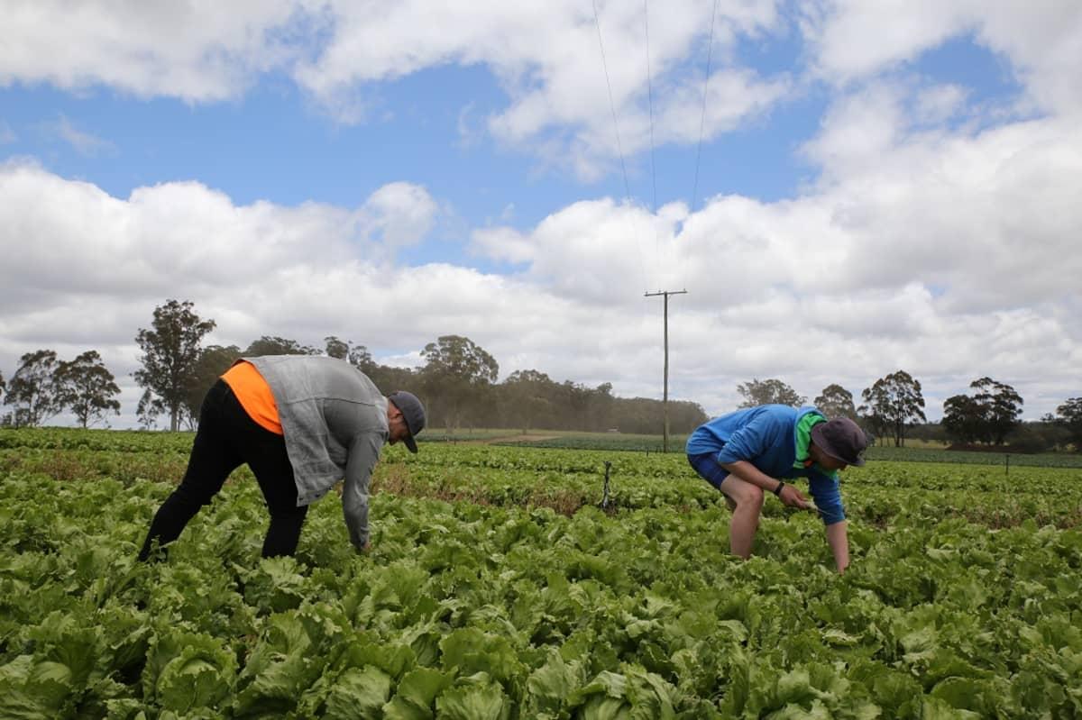 Kuvassa kaksi miestä kerää kaalia pelolla Australiassa Stanthorpen lähellä.