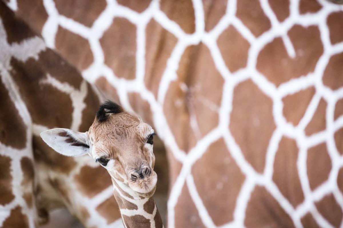 Kirahvin poikanen emonsa kanssa Duisburgin eläintarhassa Saksassa.