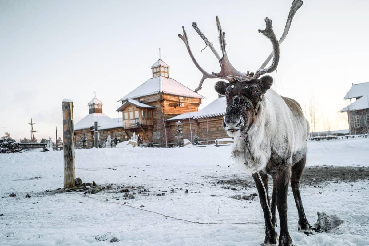 Poro seisoo luisessa maisemassa Jakutskissa.
