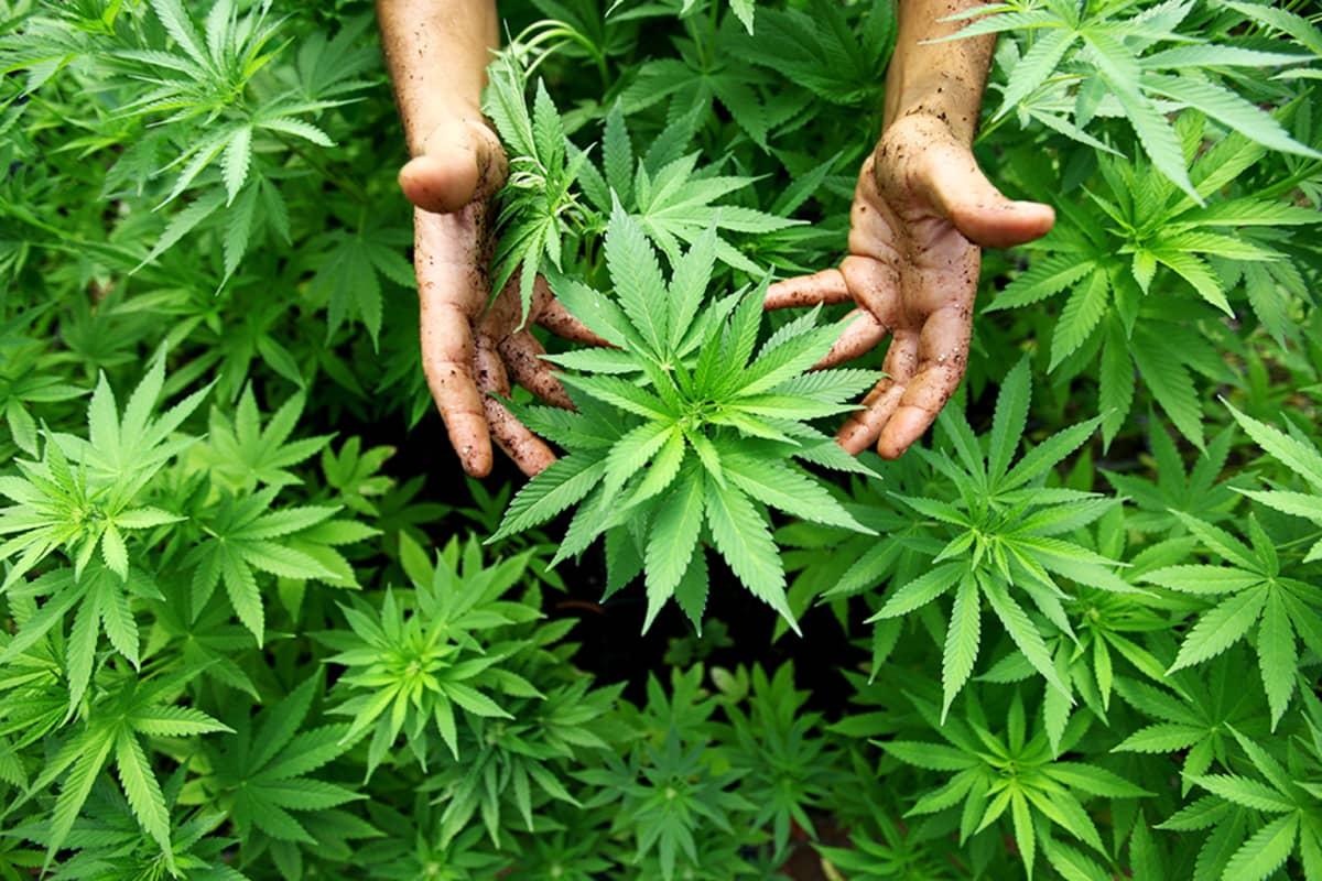 Kannabis-viljelmä Pojois-Israelissa.