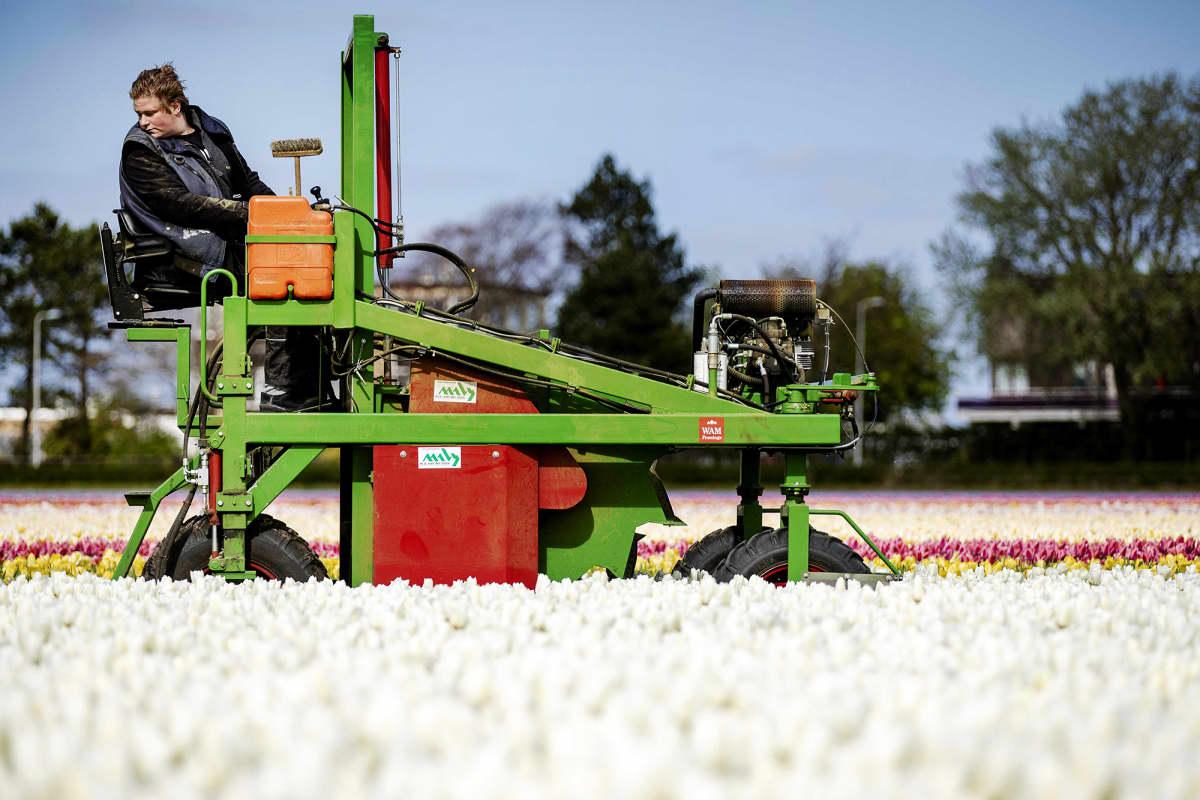 Kuvassa viljelijä tuhoaa pellollaan olevia kukkia.