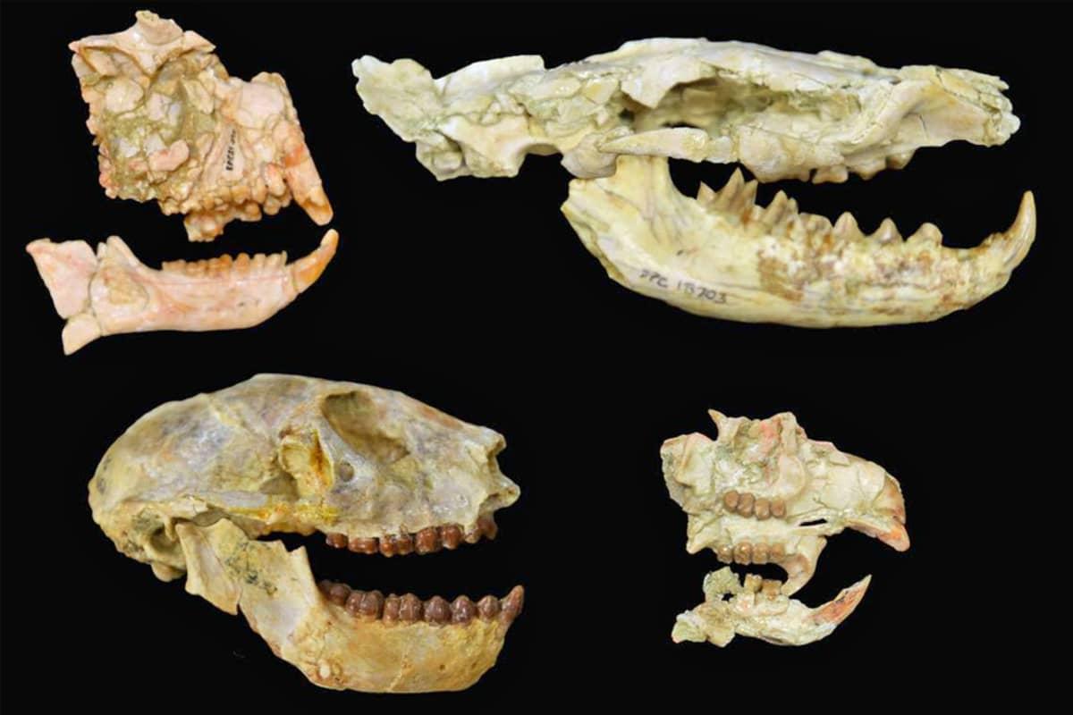 Kaksi kokonaista ja kaksi osittaista pääkalloa hampaineen.