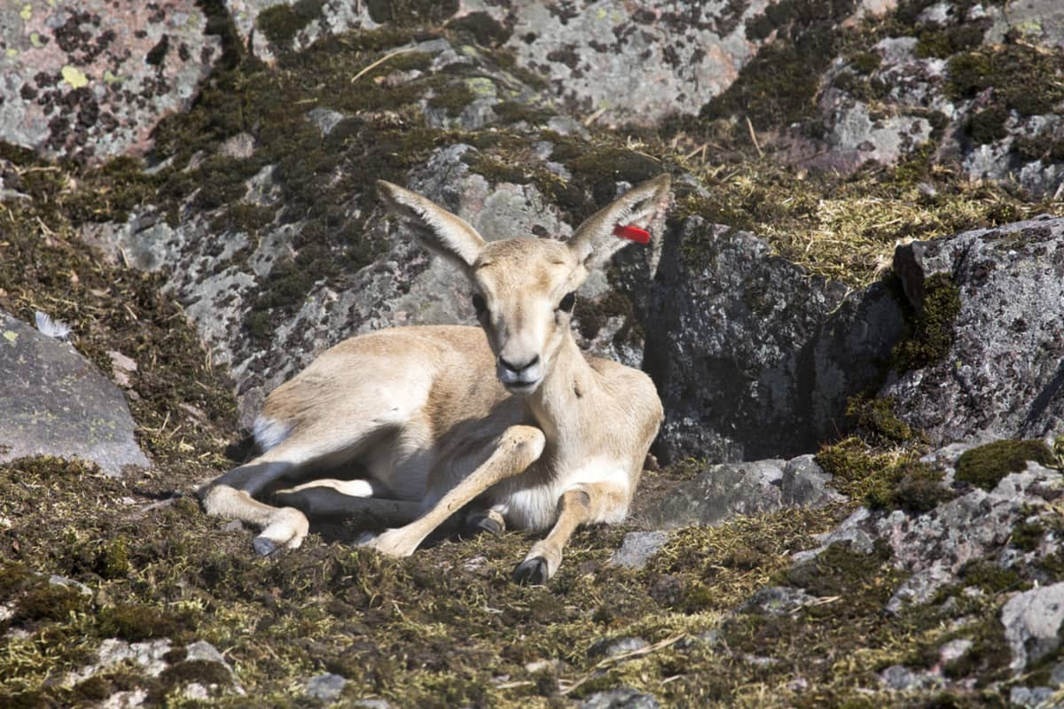 Tämä kuhertajagasellin poikanen odottaa emoaan imettämään.