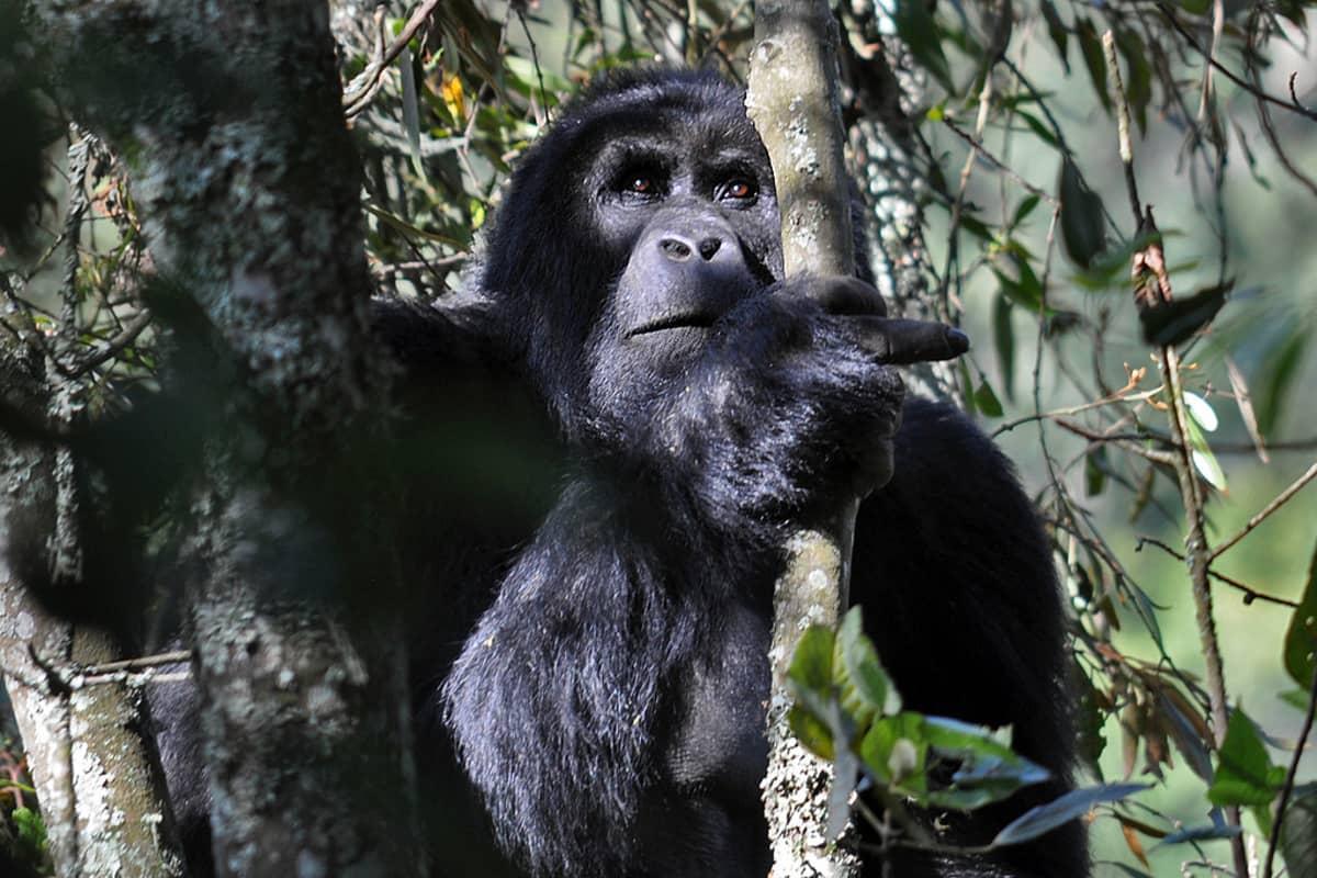 gorilla pusikossa