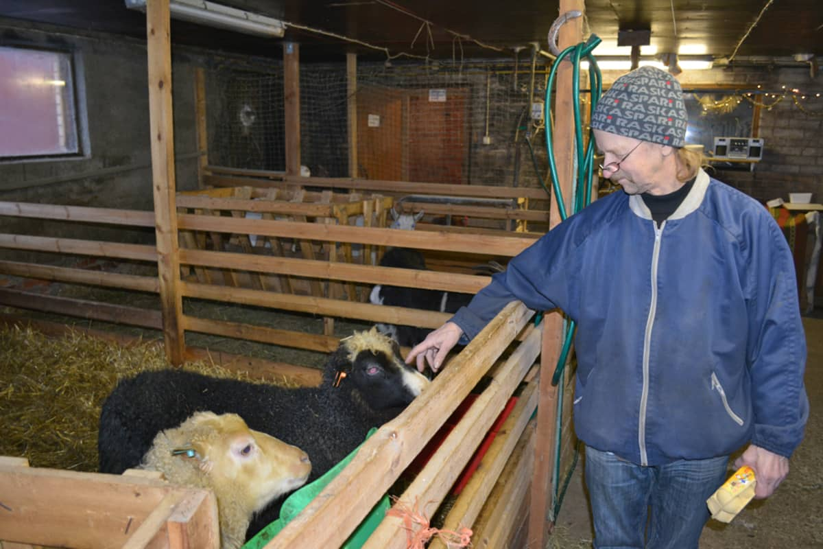 Pentti Heikura tervehtii karsinassa olevia lampaita.