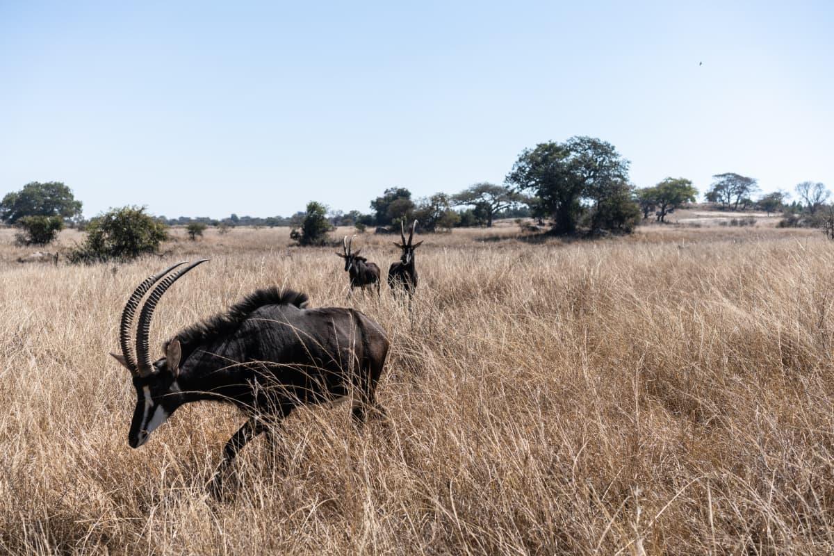 Mustahevosantilooppi on Zimbabwen kansalliseläin. Sitäkin metsästetään upeiden sarvien takia.
