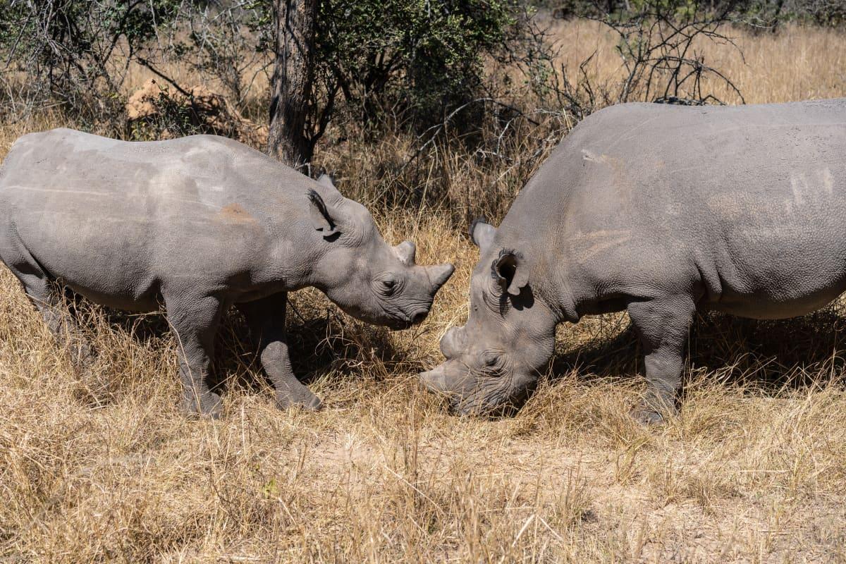 Leveähuulisarvikuonoja Zimbabwessa.
