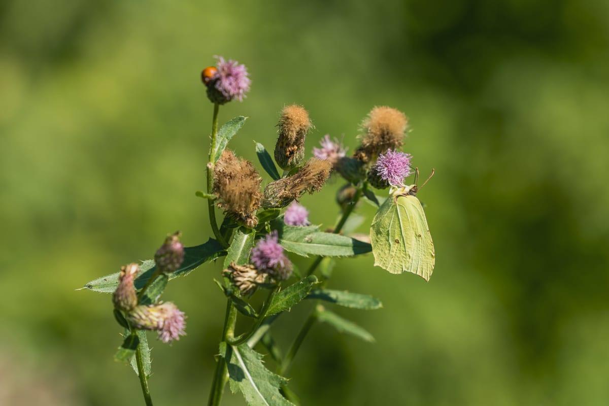 Sitruunaperhonen laskeutui hetkeksi kukan pinnalle.