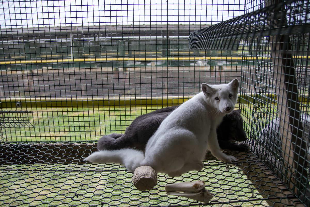 En vit räv och en svart räv i bakgrunden. De befinner sig i en bur.