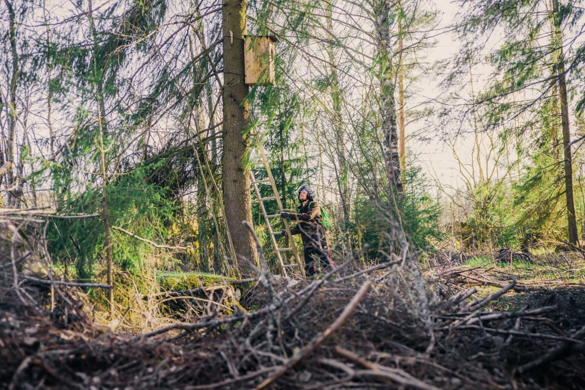 Mies kiipeää pöllön pöntölle