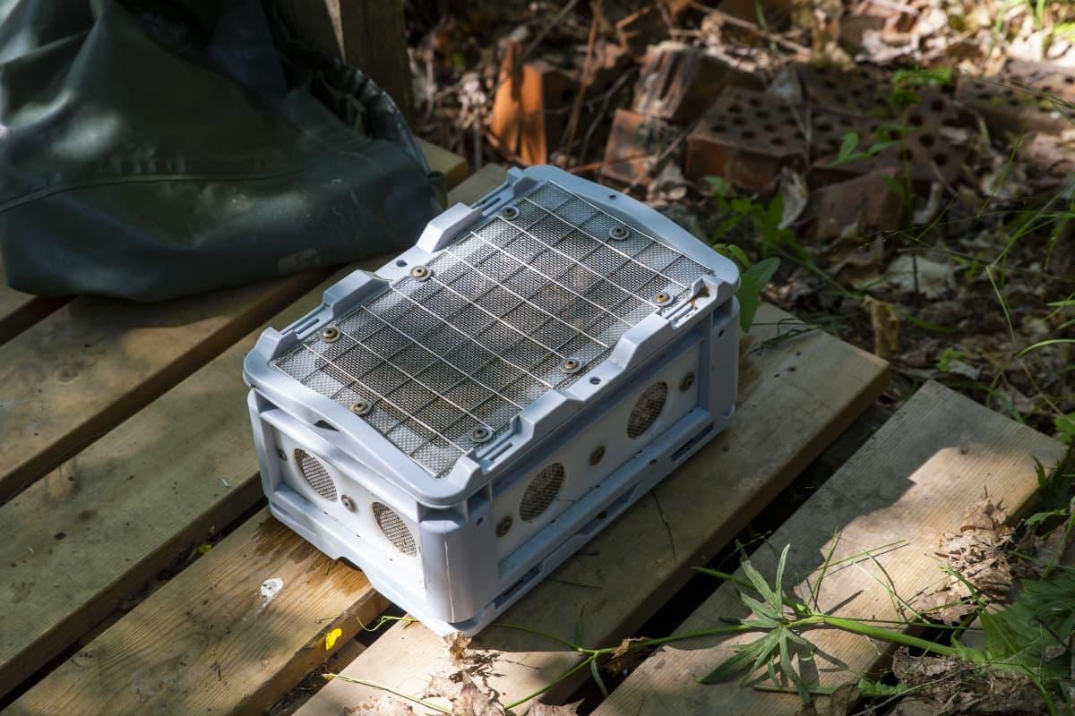 Jokihelmisimpukan eli raakun poikaset suojalaatikossa joka lasketaan Mustionjokeen.