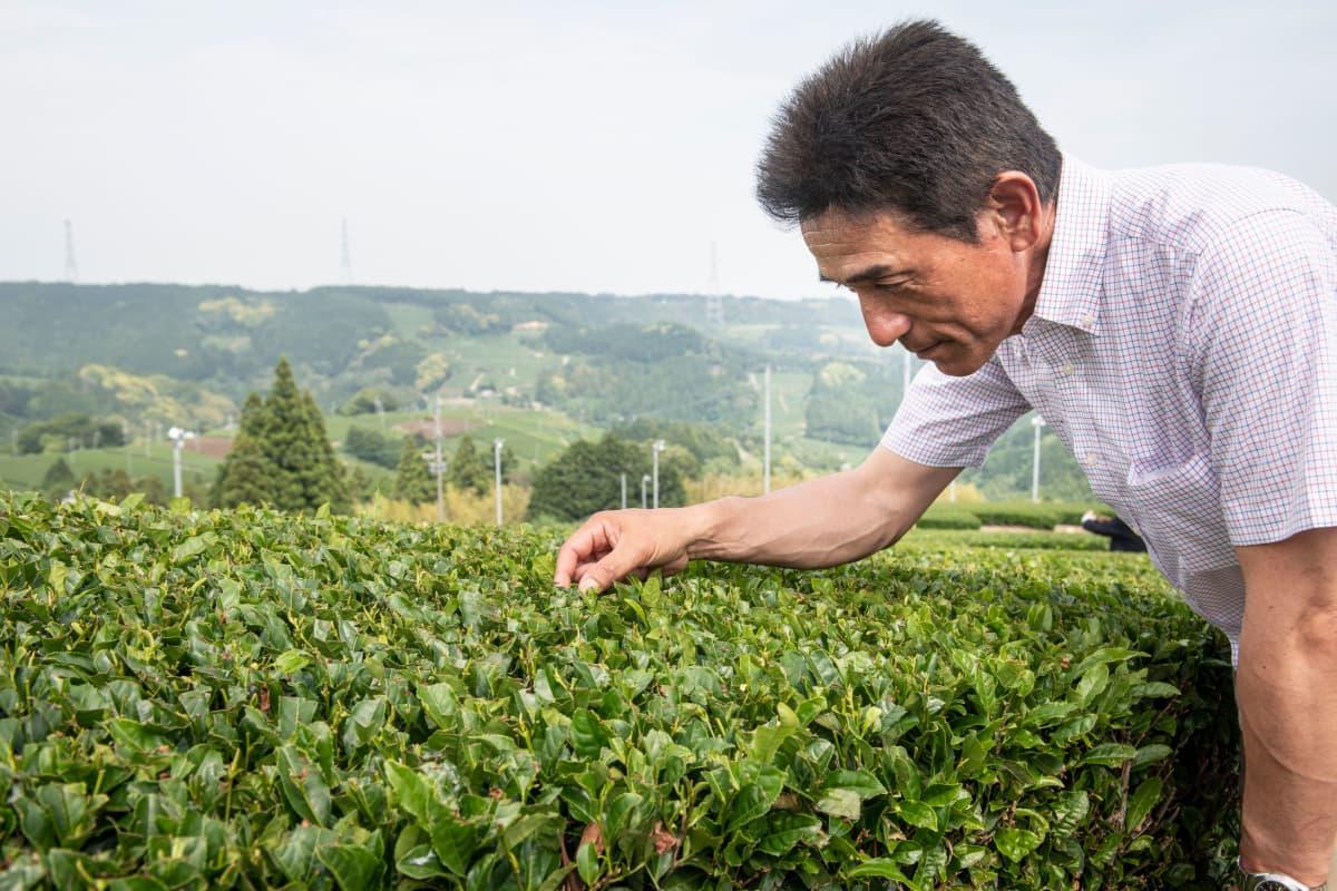 Teeosuuskunnan johtaja Hirai Toshihiro näyttää, kuinka teetä poimitaan.