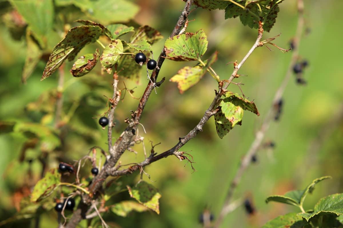 Mustaherukan oksia, joissa muutama pienikokoinen marja.