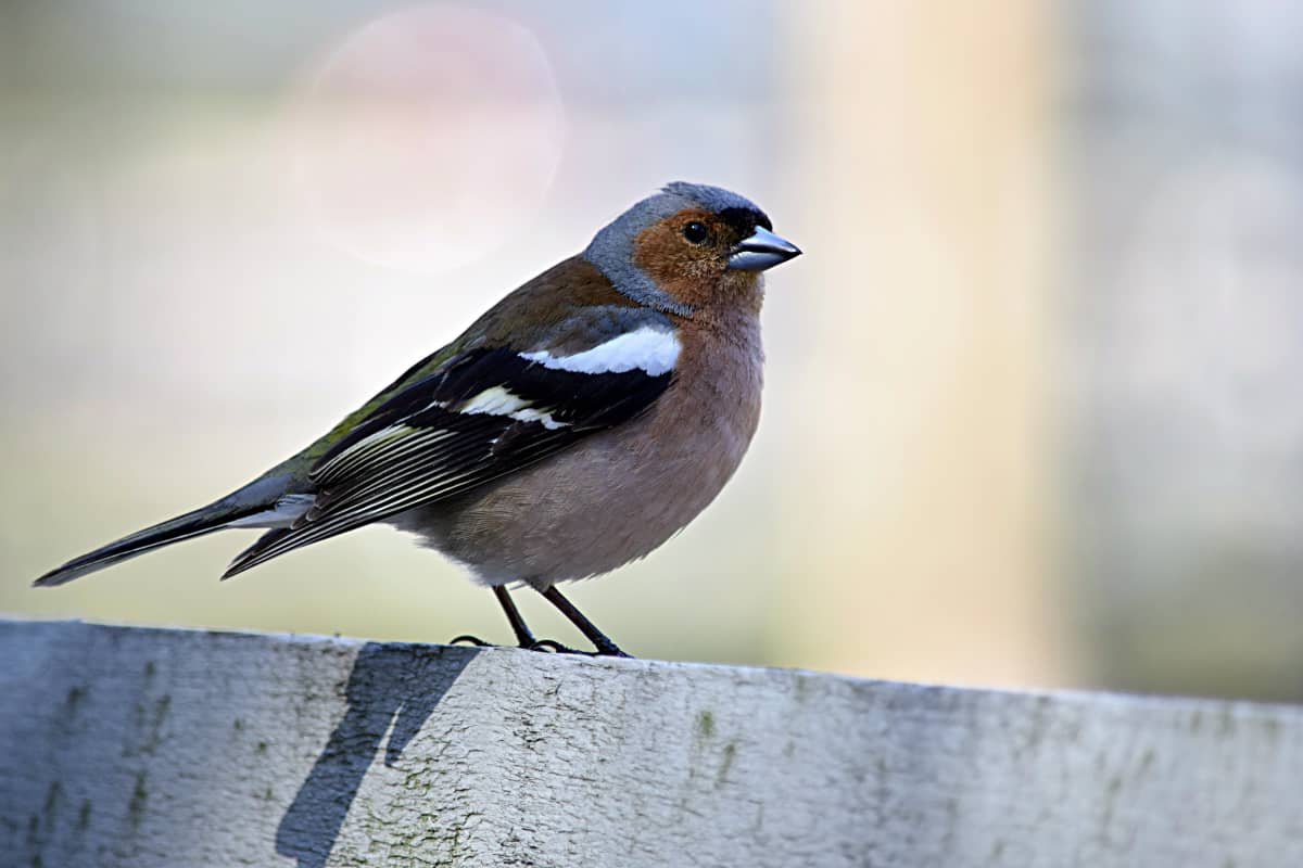 En bofink sitter på ett staket