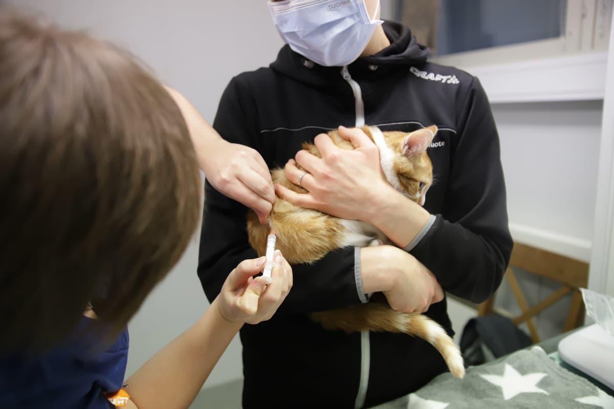 Kissa rokotuksessa.