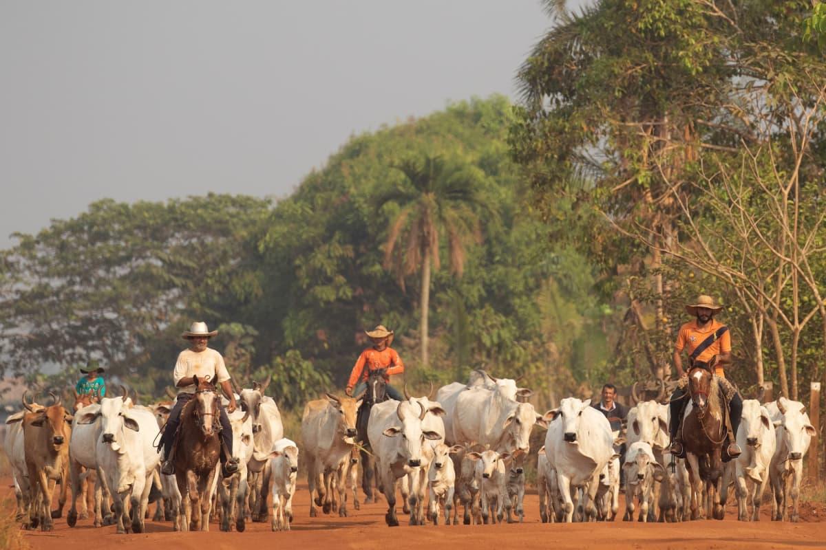 Jordbrukare som vallar boskap vid gränsen till Amazonas regnskog i Brasilien.