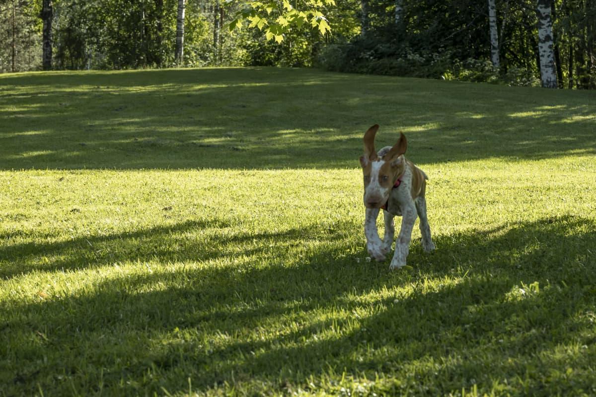 Jenni Alppisara kouluttamassa Aimo-koiraansa puistossa.