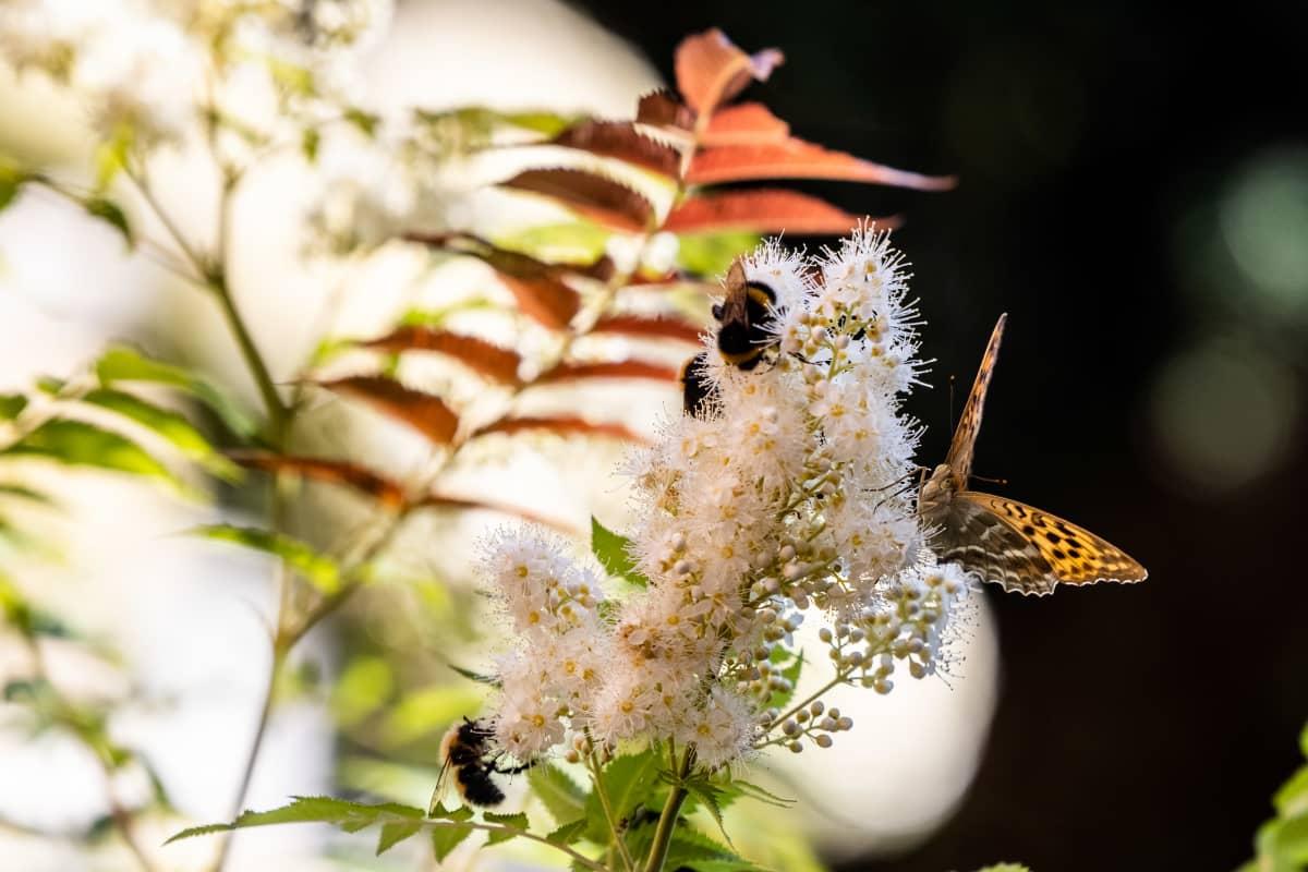 Perhonen ja kimalaisia pölyttämässä pihlaja-angervoa rivitalon pihalla.