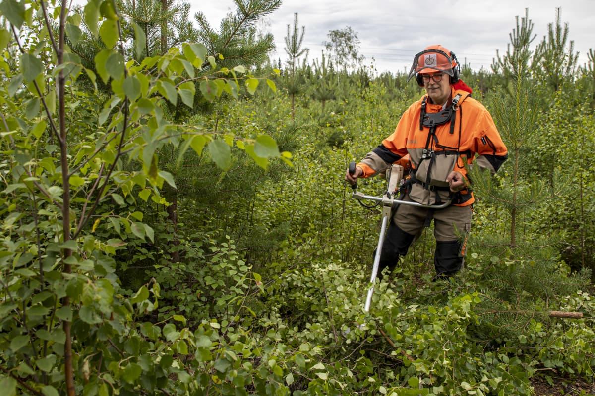 Mikko Tiirola raivaa taimikkoa raivaussahalla
