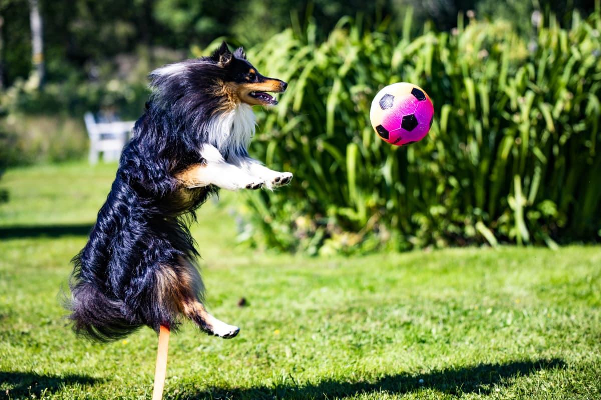 Torniolaisen Raija Rasmuksen Pepe-koira hyppää pallon perässä