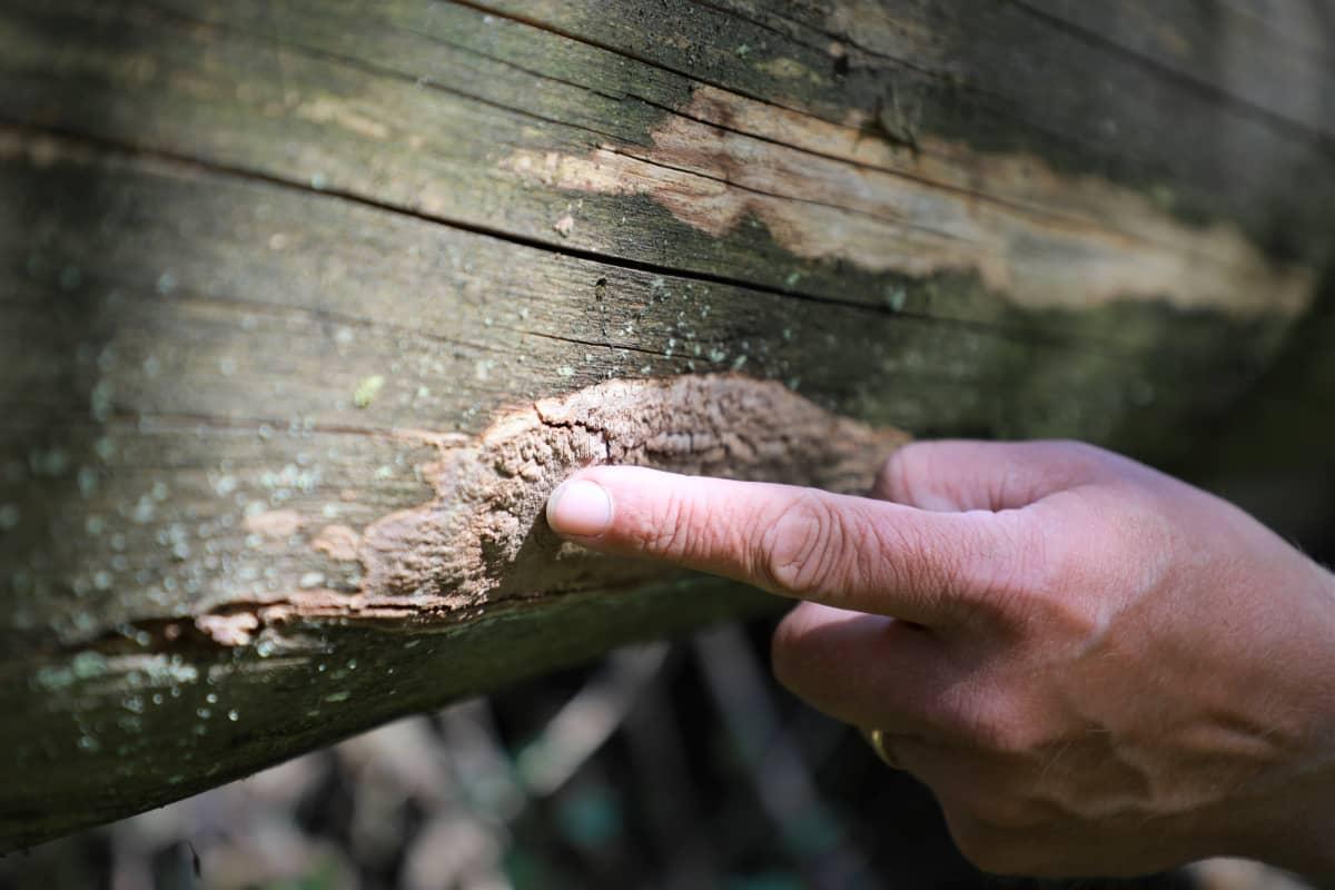 kasvustoa kuolleen puun pinnalla