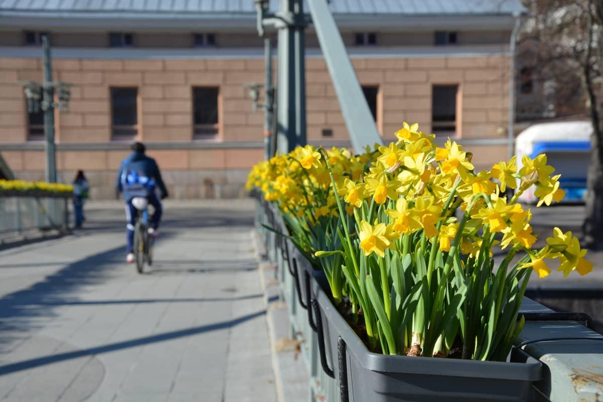 Narsisseja kukkalaatikossa.