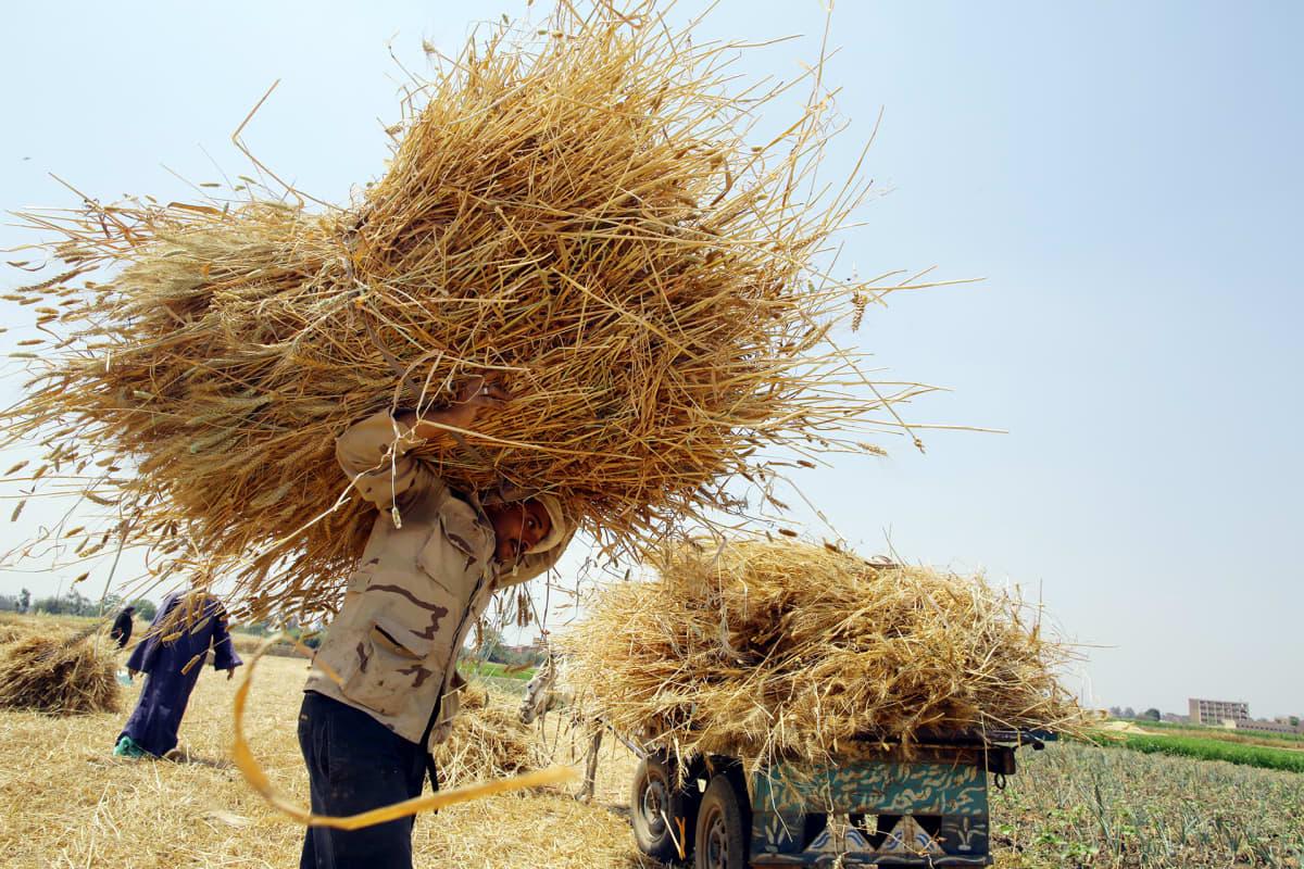 Egytiläinen mies kantaa viljaa Bergit Elsabissa.