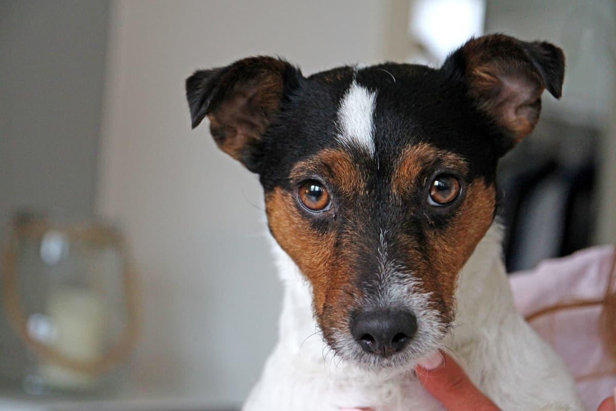Lilli-koira