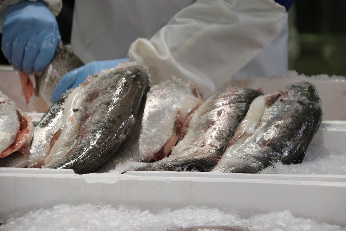 Norjalaista lohta kalanjalostuslaitoksella.