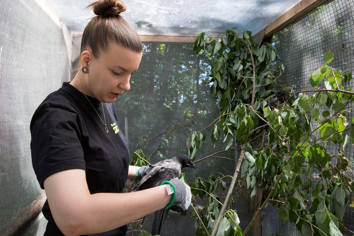 Eläinhoitaja Laura Pulli hotaa varista korkeasaaren eläintarhassa.