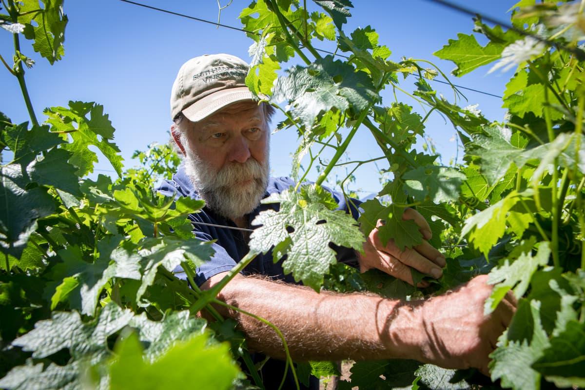 Stuart nyppii viinilehtiä