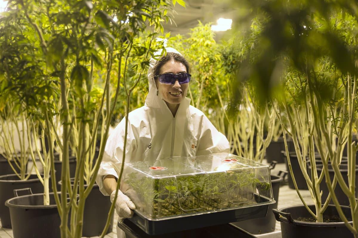 Kannabisviljelyä.