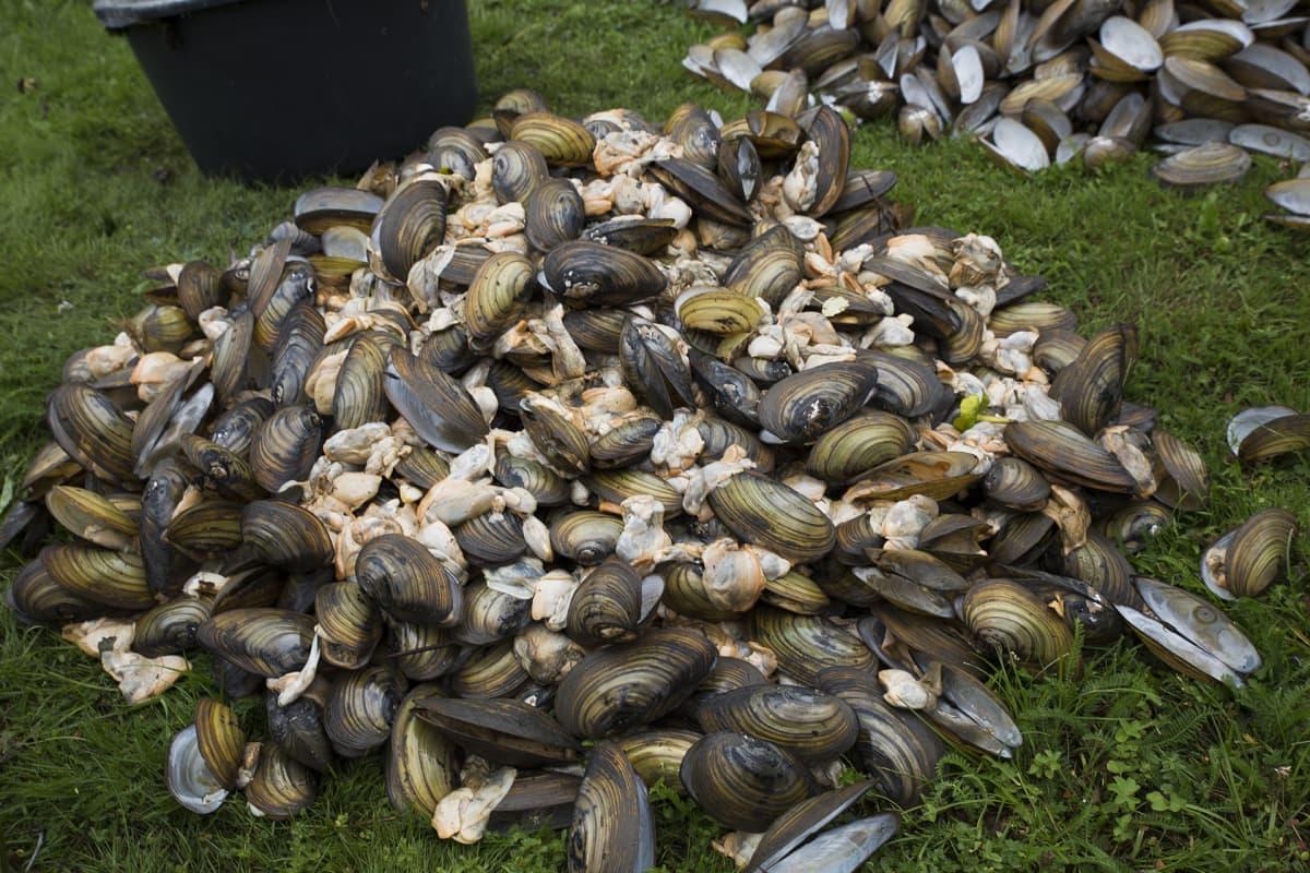 Vihdin Enäjärvestä kerättyjä kuolleita simpukoita