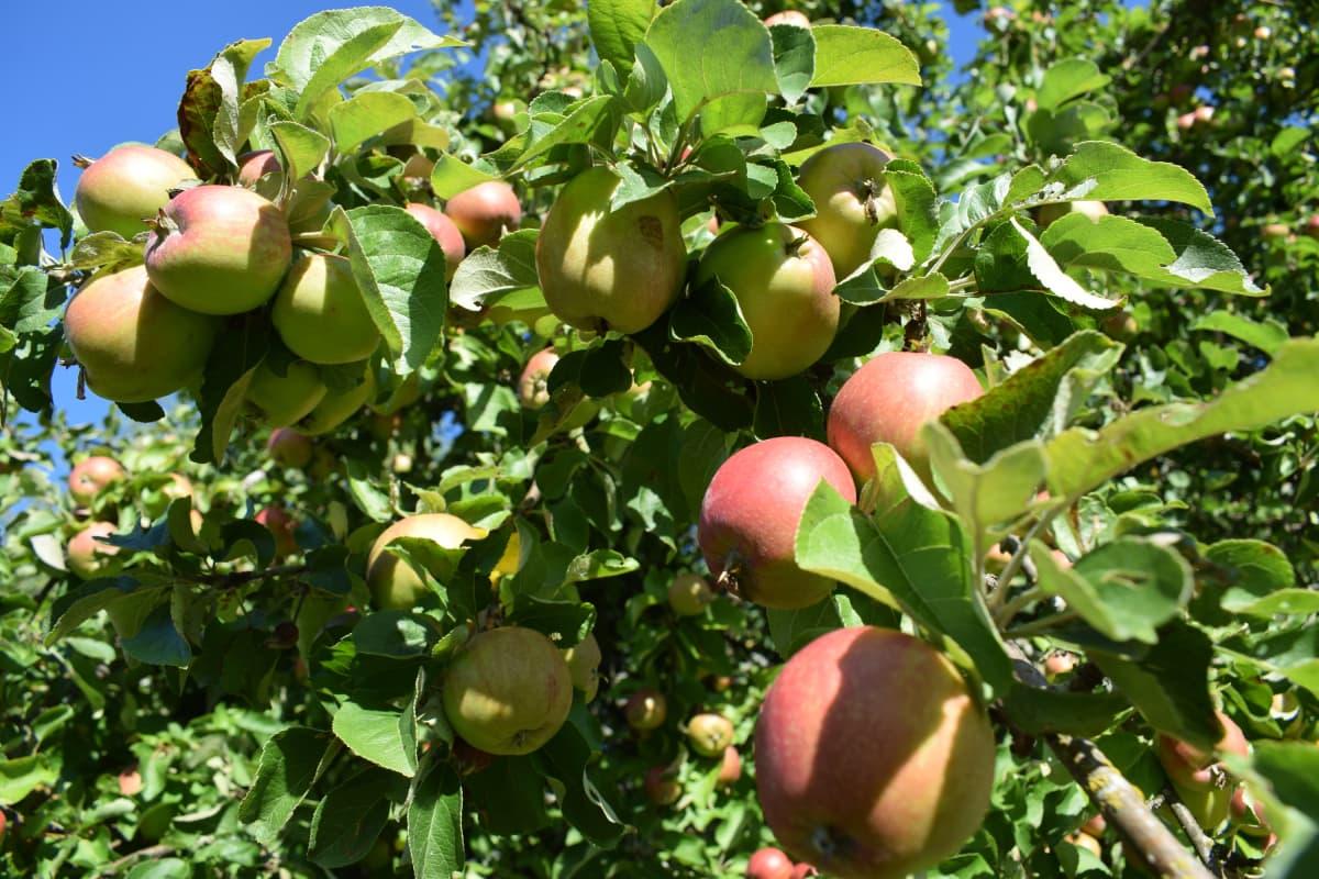 Omenoita elokuussa 2018 Turussa.