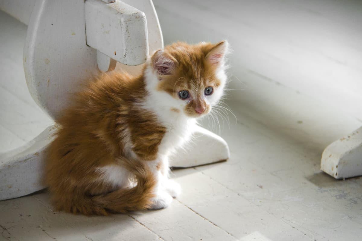 Oranssi kissanpentu istuu pöydän alla