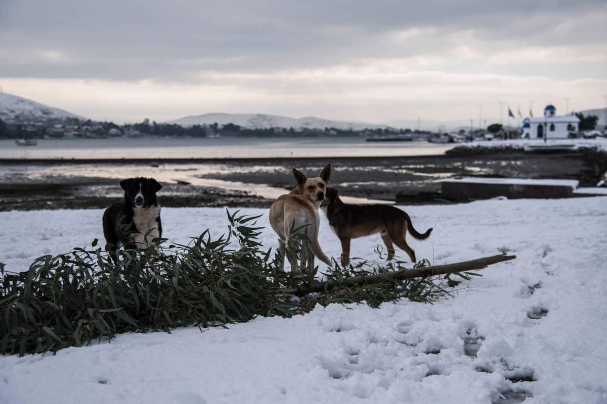 Koirat leikkivät lumisella rannalla Kreikan Euboian saarella Chalkídan kaupungissa