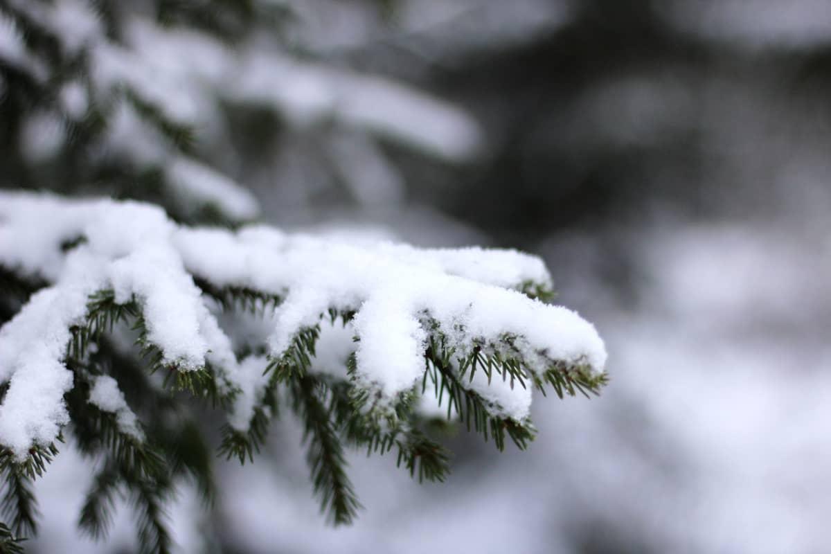 Luminen kuusenoksa