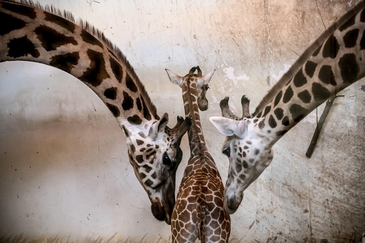 Kaksitoistapäivää vanha kirahvin poikanen kahden aikuisen kirahvin kanssa.