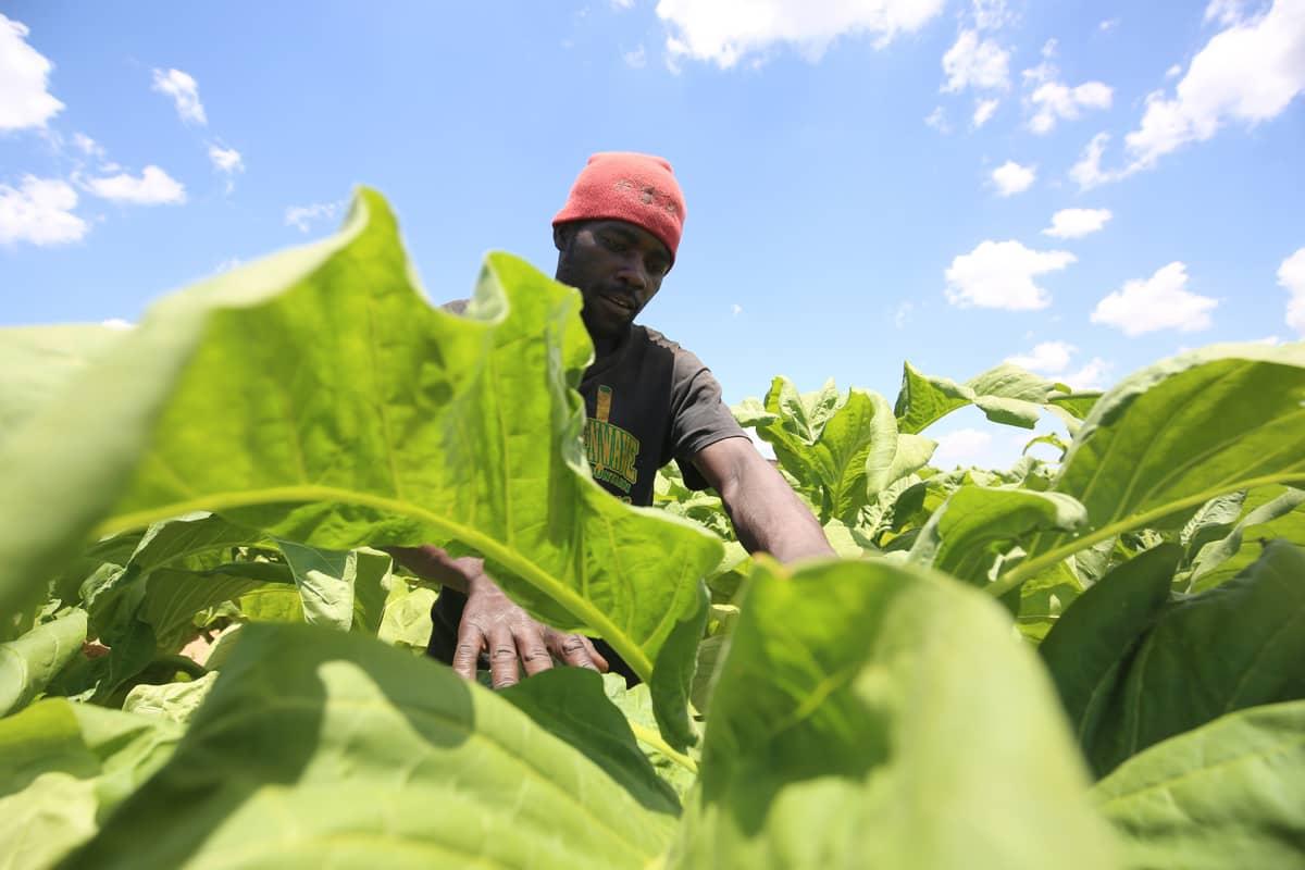 Tupakanlehtiä leikataan viljelmiltä.
