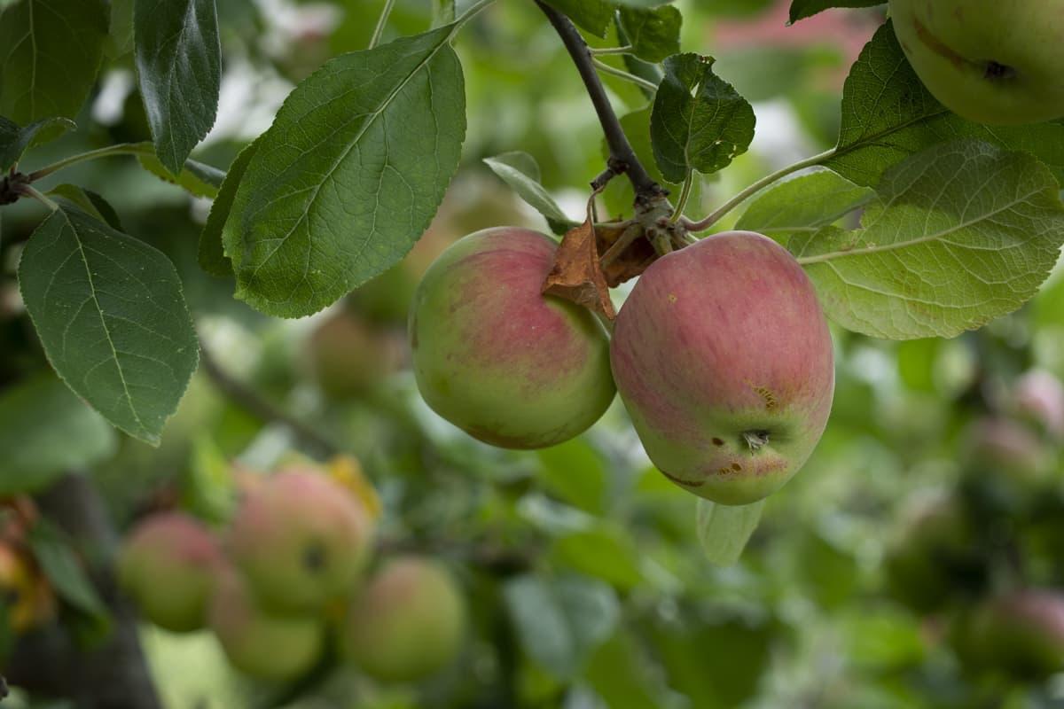 Omenapuussa omenoita