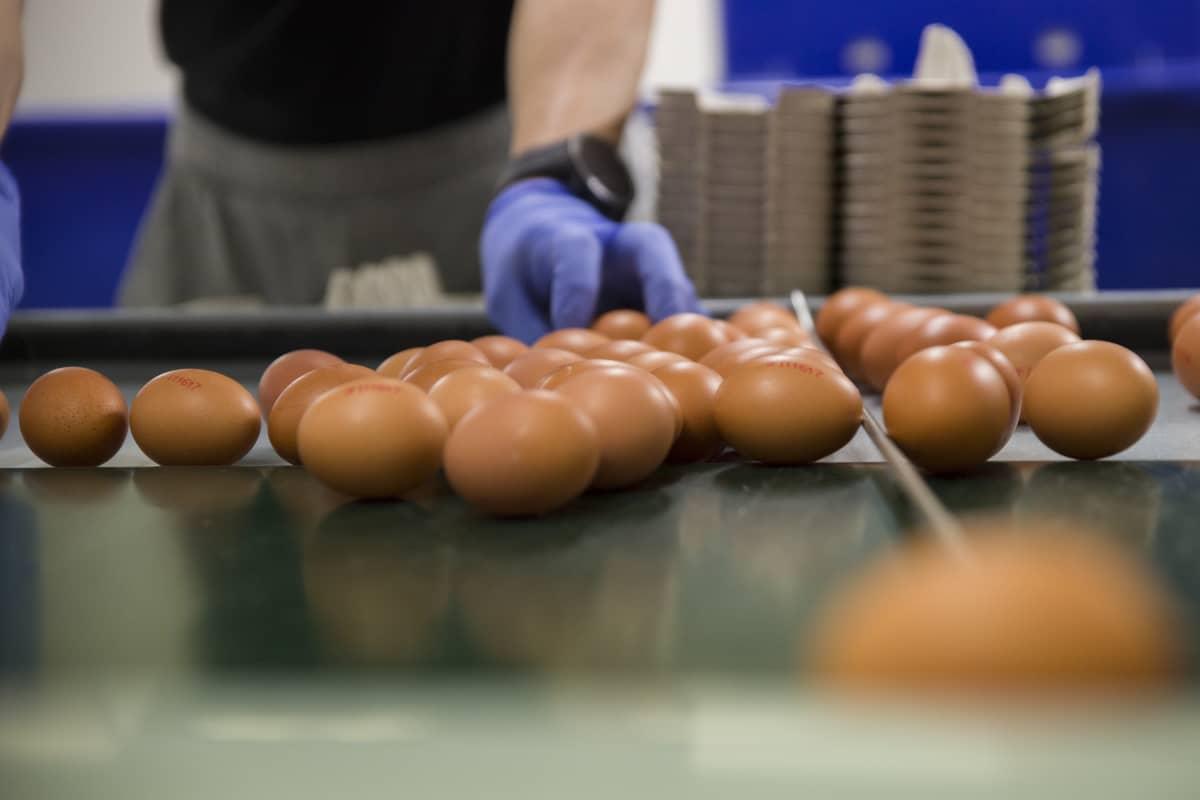 Kananmunia pakkauspöydällä Kannisen kanalassa