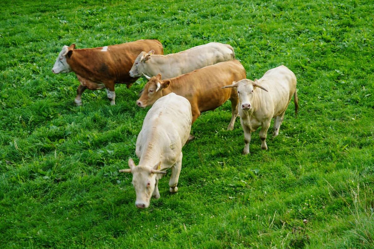 lehmä, Itävalta, maaseutu