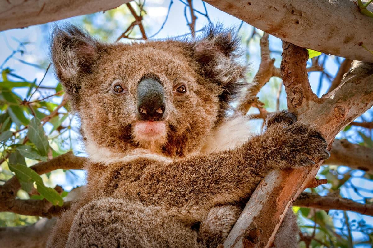 Koala eugalyptuspuussa.
