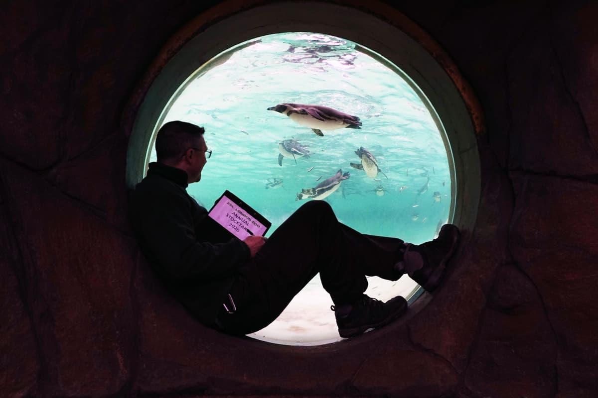 Eläintarhan työntekijä laskee pingviinejä altaan ikkunasta.