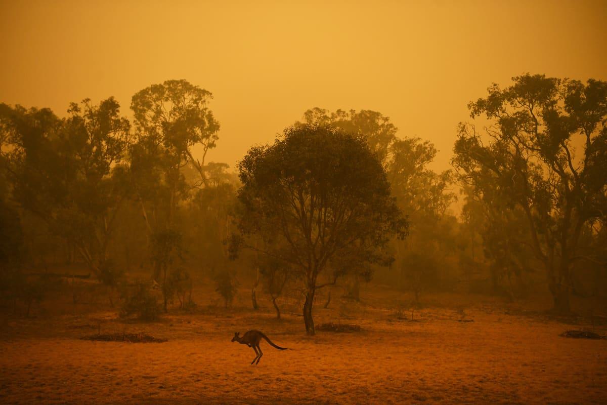 Laajat maastopalot jatkuvat Australiassa. Yksinäinen kenguru hyppi savuisessa metsässä Canberrassa.