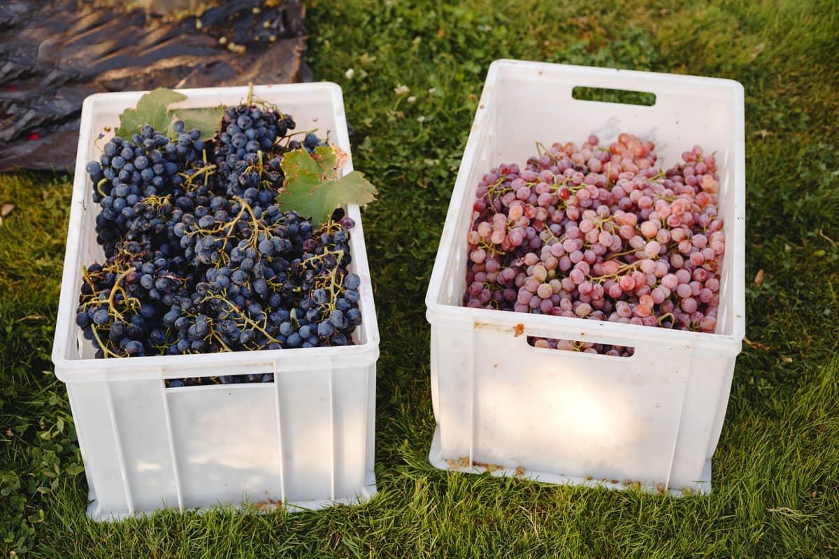 Eri lajikkeita viinirypäleitä.