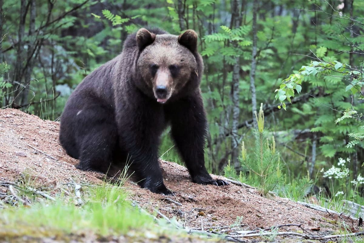 Karhu istuu metsässä ja katsoo kameraan.