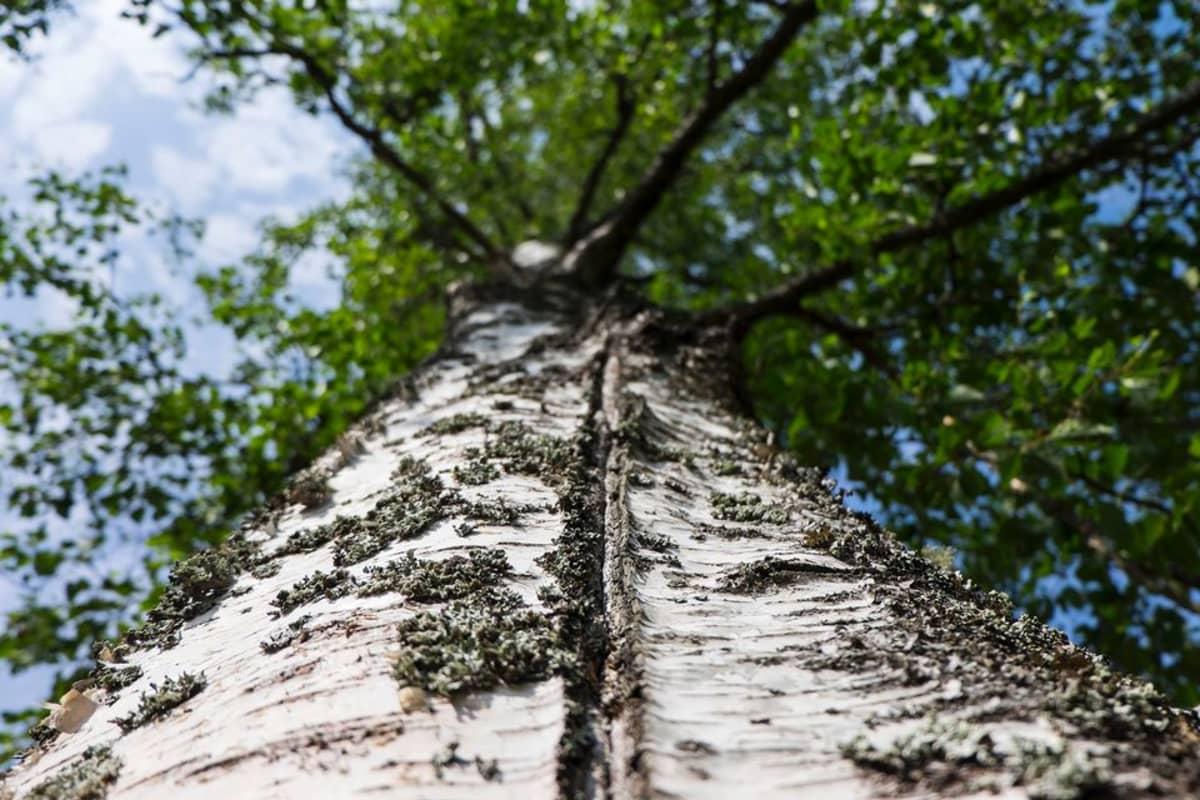 Puunrungossa näkyvä pakkasen aiheuttama halkeama.